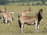 Zebras on Bontebok Ridge Reserve