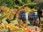 barrels in the vineyard
